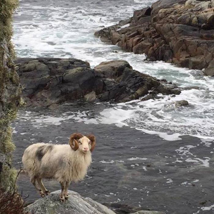 Villsau på berget ved havet